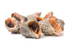 Ζήστε conch Στοκ φωτογραφία με δικαίωμα ελεύθερης χρήσης