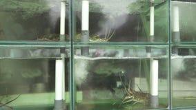 Ζήστε lopster σε ένα ενυδρείο σε ένα επίδειξη-παράθυρο του εστιατορίου των προϊόντων θάλασσας απόθεμα βίντεο