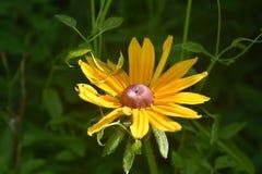 Ζαλίζοντας βλάστηση η μαύρη Eyed Susan σχεδόν στην πλήρη άνθιση Στοκ εικόνα με δικαίωμα ελεύθερης χρήσης