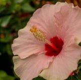 Ζαλίζοντας ρόδινο και άσπρο μαγιορκινό τροπικό λουλούδι στοκ εικόνες
