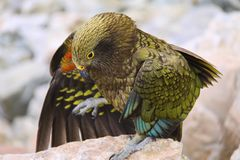 Ζαλησμένο πουλί της Kea στο εθνικό πάρκο Νέα Ζηλανδία Aoraki Στοκ Φωτογραφία