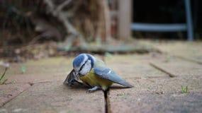 Ζαλισμένο πουλί Bluetit στοκ εικόνες