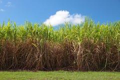 ζαχαροκάλαμο φυτειών στοκ φωτογραφίες