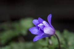 Ζαλίζοντας μπλε δάσος λουλουδιών anemone wildflower blande την άνοιξη Στοκ εικόνα με δικαίωμα ελεύθερης χρήσης