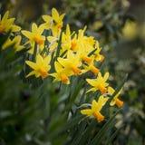 Ζαλίζοντας ρηχό βάθος της εικόνας τομέων του δονούμενου κίτρινου daffodil Στοκ εικόνα με δικαίωμα ελεύθερης χρήσης