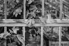 Ζαλίζοντας το εκλεκτής ποιότητας βικτοριανό θερμοκήπιο εποχής που αφήνεται την καταστροφή ro στο παλαιό En Στοκ Εικόνα