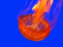ζελατίνα ψαριών απεικόνιση αποθεμάτων
