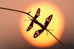 ζεστασιά ctenuchidae Στοκ φωτογραφία με δικαίωμα ελεύθερης χρήσης