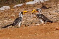 Ζευγάρι ανατολικά κίτρινος-τιμολογημένα flavirostris Hornbills - Tockus Στοκ φωτογραφία με δικαίωμα ελεύθερης χρήσης