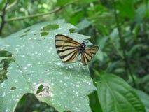 Ζευγάρι ζευγαρώματος των πεταλούδων Στοκ φωτογραφία με δικαίωμα ελεύθερης χρήσης