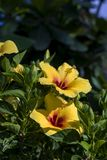 Ζευγάρι κίτρινου Hybiscus Στοκ Εικόνες