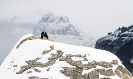 Ζευγάρι κορακιών στα χιονώδη βουνά στοκ εικόνα με δικαίωμα ελεύθερης χρήσης
