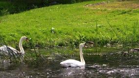 Ζευγάρι κύκνων Άσπρα πουλιά που κολυμπούν στο νερό ποταμού απόθεμα βίντεο