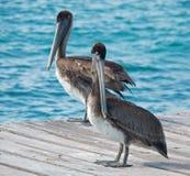 Ζευγάρι πελεκάνων στο νησί της Isla Mujeres ακριβώς από την ακτή Cancun του Μεξικού Στοκ Φωτογραφία