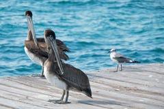 Ζευγάρι πελεκάνων στο νησί της Isla Mujeres ακριβώς από την ακτή Cancun του Μεξικού Στοκ Φωτογραφίες