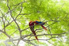 Ζευγάρι που καλλωπίζει τα ερυθρό macaws, Ara Μακάο ή Arakanga Στοκ Φωτογραφία