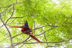 Ζευγάρι που καλλωπίζει τα ερυθρό macaws, Ara Μακάο ή Arakanga Στοκ Εικόνες