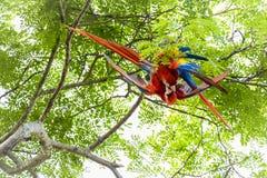 Ζευγάρι που καλλωπίζει τα ερυθρό macaws, Ara Μακάο ή Arakanga Στοκ Εικόνα