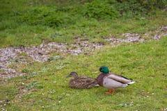 ζευγάρι πρασινολαιμών πα&p Στοκ εικόνα με δικαίωμα ελεύθερης χρήσης