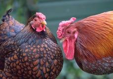 Ζευγάρι τα κοτόπουλα Wyandotte που βλέπουν το χτισμένο ξυλεία ζεύγος εξωτερικού εκεί, όπως βλέπει σε μια ρύθμιση κήπων Στοκ εικόνα με δικαίωμα ελεύθερης χρήσης
