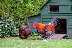 Ζευγάρι τα κοτόπουλα Wyandotte που βλέπουν το χτισμένο ξυλεία ζεύγος εξωτερικού εκεί, όπως βλέπει σε μια ρύθμιση κήπων Στοκ φωτογραφία με δικαίωμα ελεύθερης χρήσης