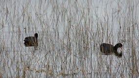 Ζευγάρι της αμερικανικής φαλαρίδας, Fulica αμερικανικό, σε Everglades απόθεμα βίντεο