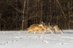 Ζευγάρι της γκρίζας κίνησης Λύκου Canis λύκων που αφήνεται πέρα από τον τομέα Στοκ Φωτογραφία