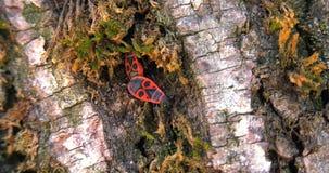 Ζευγάρι της κίνησης apterus Pyrrhocoris εντόμων στο φλοιό του δέντρου που ψάχνει ένα κρησφύγετο απόθεμα βίντεο