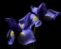 Ζευγάρι της Iris Στοκ Εικόνες