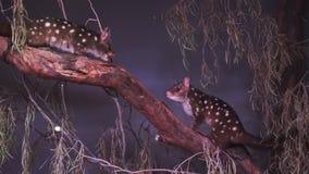 Ζευγάρι του δυτικού quoll σε ένα δέντρο απόθεμα βίντεο