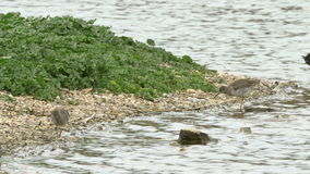 Ζευγάρι του κοινού μαυρότρυγα (totanus Tringa) που ταΐζει απόθεμα βίντεο