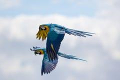 Ζευγάρι του μπλε και κίτρινου ή χρυσού macaws ararauna Ara κατά την πτήση Στοκ Φωτογραφία