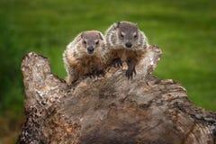 Ζευγάρι του νέου Woodchucks βλέμματος Marmota monax έξω στοκ φωτογραφία με δικαίωμα ελεύθερης χρήσης