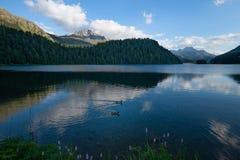 Ζευγάρι του πανιού πρασινολαιμών παπιών ανά τα ζευγάρια σε μια αλπική λίμνη στοκ εικόνες