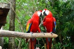 Ζευγάρι του παπαγάλου Στοκ Εικόνα