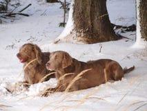 Ζευγάρι του σκυλιού Weimaraner το χειμώνα στοκ φωτογραφία