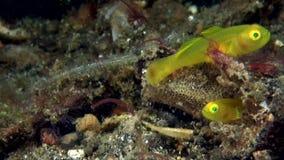 Ζευγάρι του χρυσού exiguus Lubricogobius γοβιών στο κοράλλι στο στενό Lembeh απόθεμα βίντεο