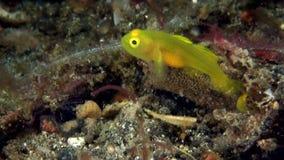 Ζευγάρι του χρυσού exiguus Lubricogobius γοβιών στο κοράλλι στο στενό Lembeh φιλμ μικρού μήκους
