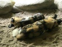 Ζευγάρι του χρωματισμένου ύπνου σκυλιών στοκ φωτογραφία