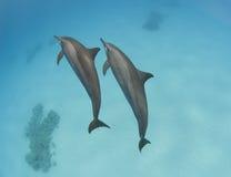 Ζευγάρι των άγριων δελφινιών κλωστών Στοκ εικόνες με δικαίωμα ελεύθερης χρήσης