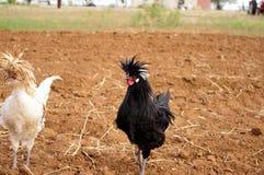Ζευγάρι των άσπρων και μαύρων πολωνικών λοφιοφόρων κοκκόρων με τα τρελλά hairdos στοκ εικόνες