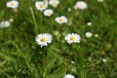 Ζευγάρι των άσπρων λουλουδιών chamomiles και της πράσινης χλόης Στοκ εικόνα με δικαίωμα ελεύθερης χρήσης