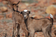 Ζευγάρι των αιγών μωρών που ισορροπούν στους βράχους Στοκ Φωτογραφίες