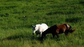Ζευγάρι των αλόγων που τρώνε τη βόσκοντας φρέσκια πράσινη χλόη στο αγροτικό λιβάδι φιλμ μικρού μήκους
