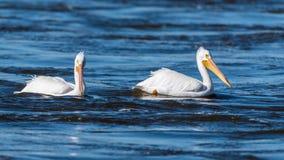 Ζευγάρι των αμερικανικών άσπρων πελεκάνων Στοκ εικόνα με δικαίωμα ελεύθερης χρήσης