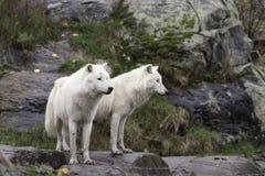 Ζευγάρι των αρκτικών λύκων ένα φθινόπωρο, δασικό περιβάλλον Στοκ Εικόνες