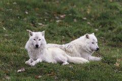 Ζευγάρι των αρκτικών λύκων ένα φθινόπωρο, δασικό περιβάλλον Στοκ Εικόνα