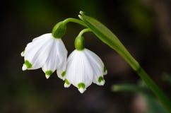 Ζευγάρι των αυτοκρατορικών λουλουδιών άνοιξη snowdrop Στοκ φωτογραφία με δικαίωμα ελεύθερης χρήσης