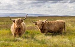 Ζευγάρι των βοοειδών ορεινών περιοχών Στοκ Εικόνες