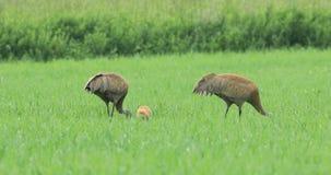 Ζευγάρι των γερανών Sandhill, canadensis Grus, με το νεοσσό 4K απόθεμα βίντεο